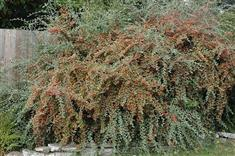 Cotoneaster 'franchetii'